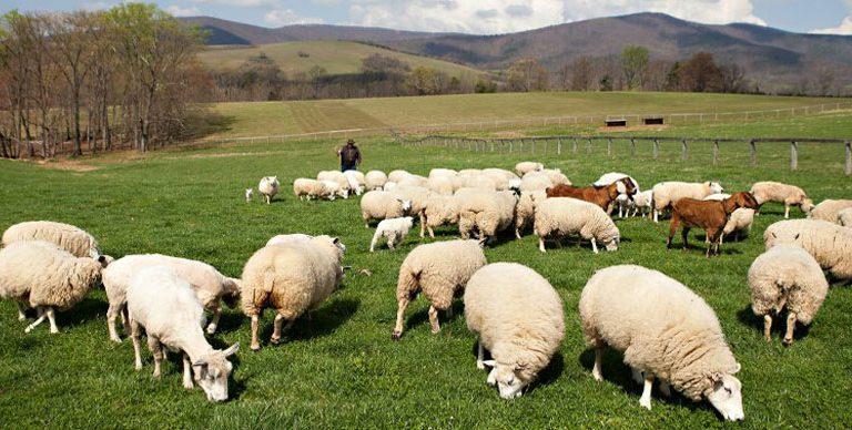 5 motive pentru care sa iti faci o ferma de oi